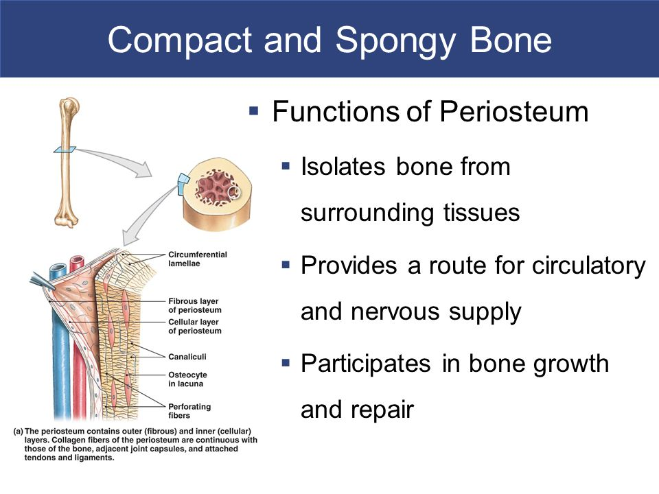 H A P T E R Osseous Tissue And Bone Structure An Introduction To