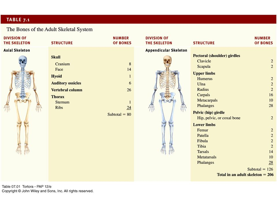Principles of Anatomy and Physiology Twelfth Edition Chapter 7 The ...