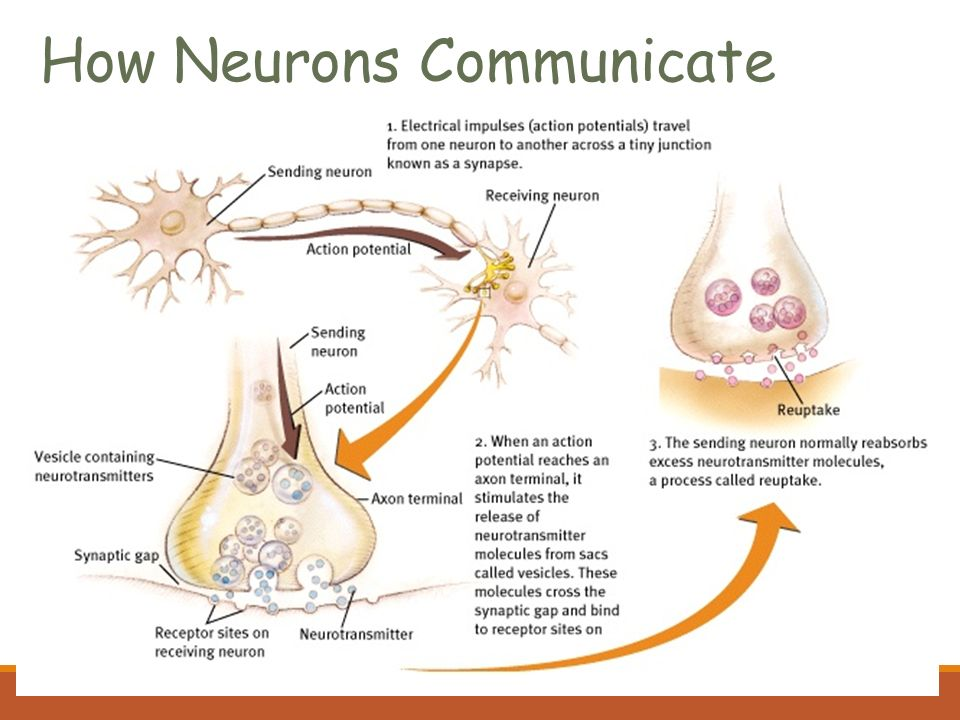 The biology of mind biological psychology branch of psychology 9 how neurons communicate malvernweather Images