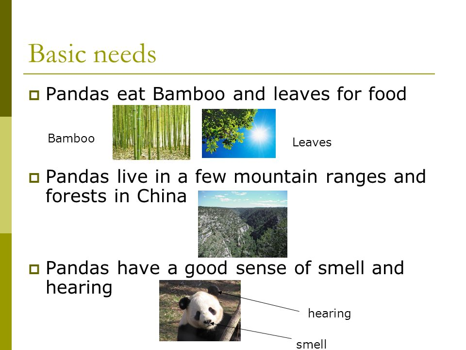 Giant PANDAS By Shelbi olmstead. Diagram of a Panda back snout ear ...