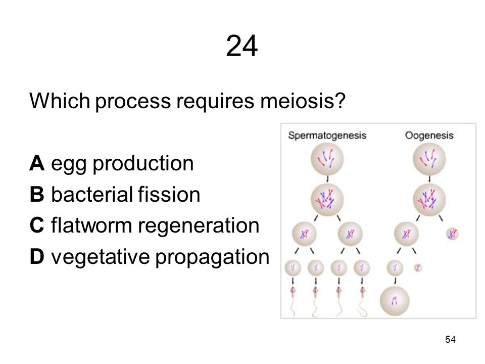 24 Which process requires meiosis.