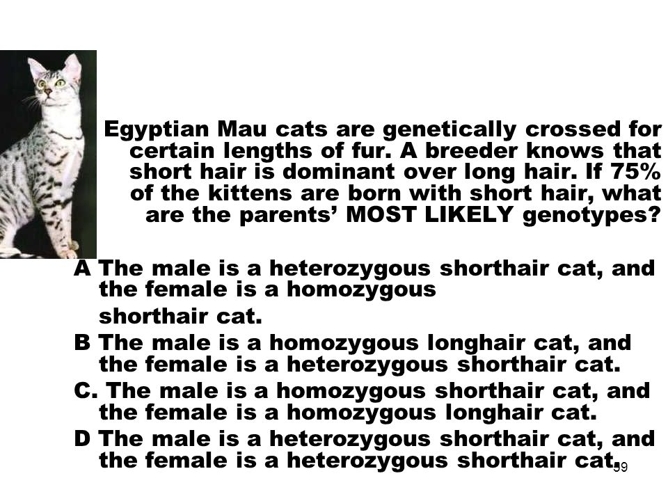 Egyptian Mau cats are genetically crossed for certain lengths of fur.