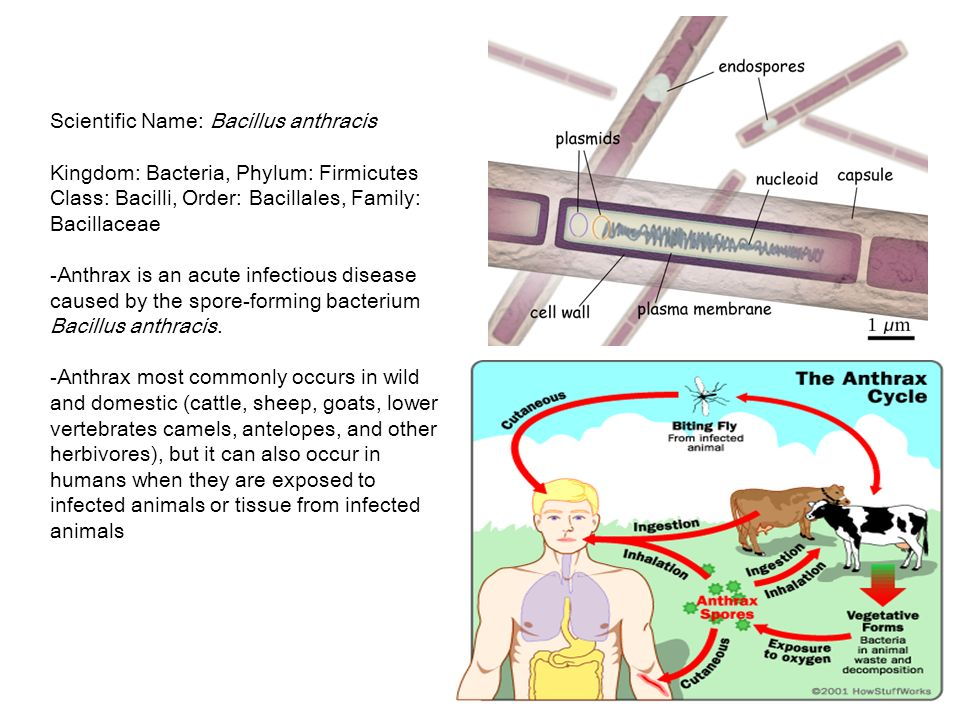 an introduction to the analysis of bacillus anthacis the bacterium for anthrax Reopening public facilities after a biological attack explore × reopening public facilities after a biological attack download.