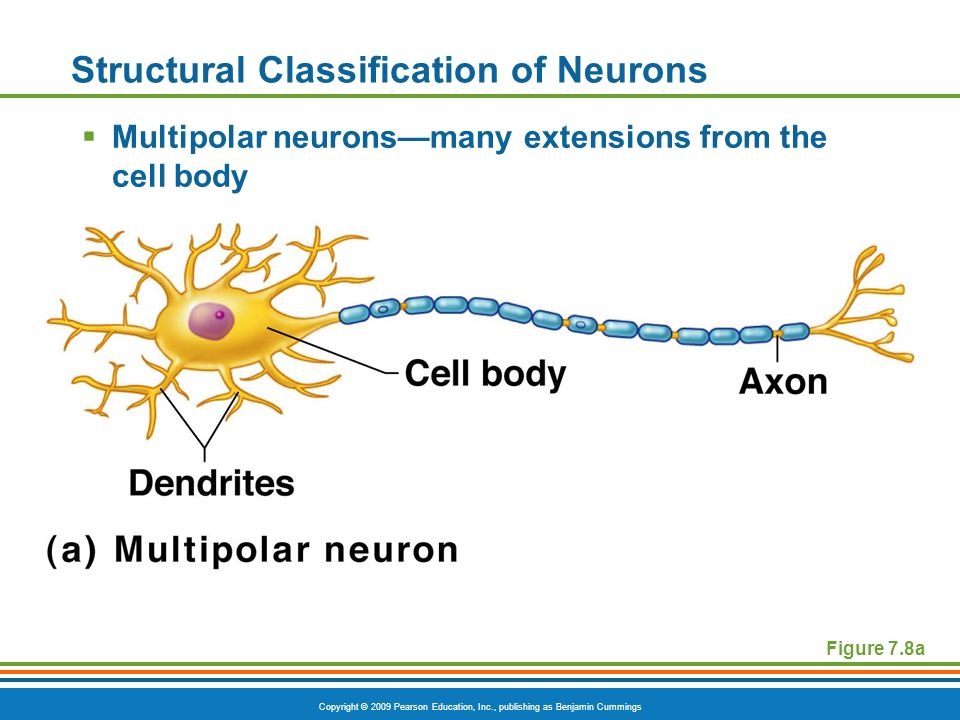 Copyright © 2009 Pearson Education, Inc., publishing as Benjamin Cummings Figure 7.8a Structural Classification of Neurons  Multipolar neurons—many extensions from the cell body