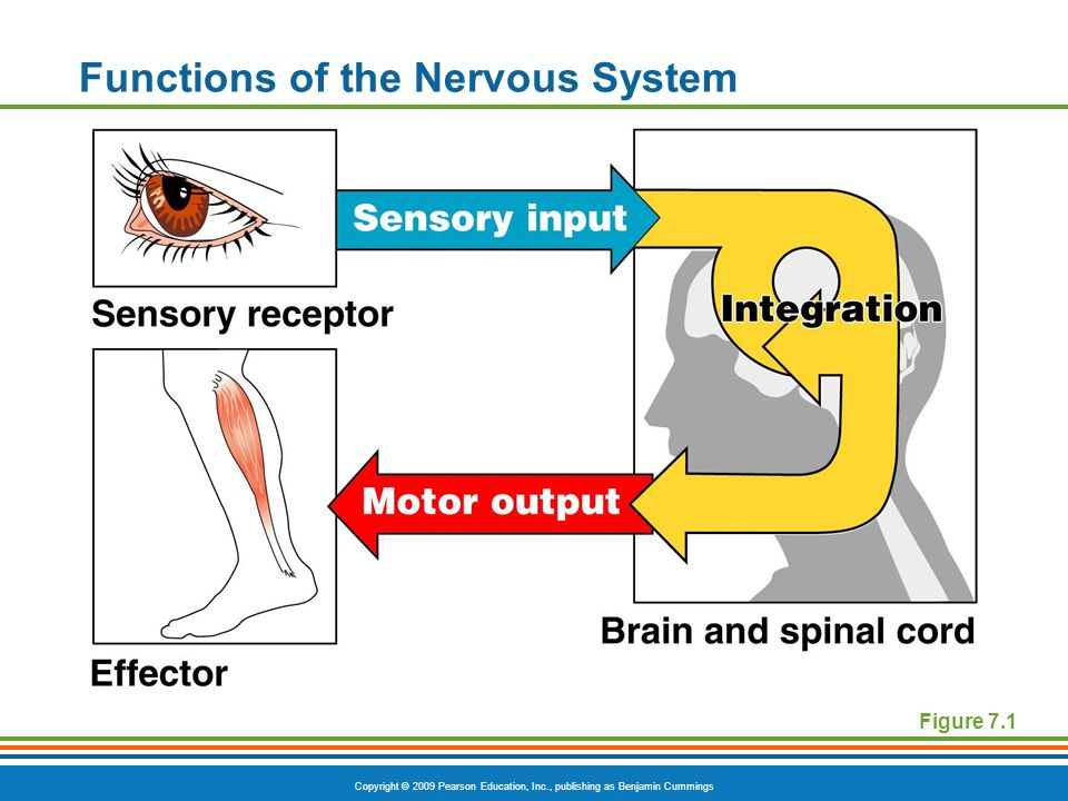 Copyright © 2009 Pearson Education, Inc., publishing as Benjamin Cummings Functions of the Nervous System Figure 7.1