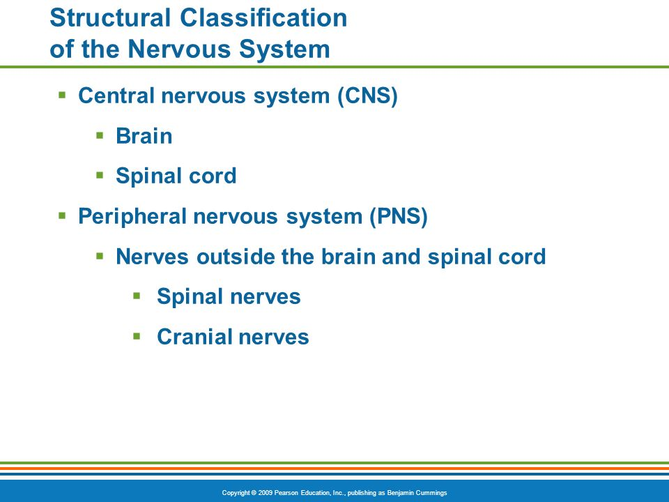 Copyright © 2009 Pearson Education, Inc., publishing as Benjamin Cummings Structural Classification of the Nervous System  Central nervous system (CNS)  Brain  Spinal cord  Peripheral nervous system (PNS)  Nerves outside the brain and spinal cord  Spinal nerves  Cranial nerves