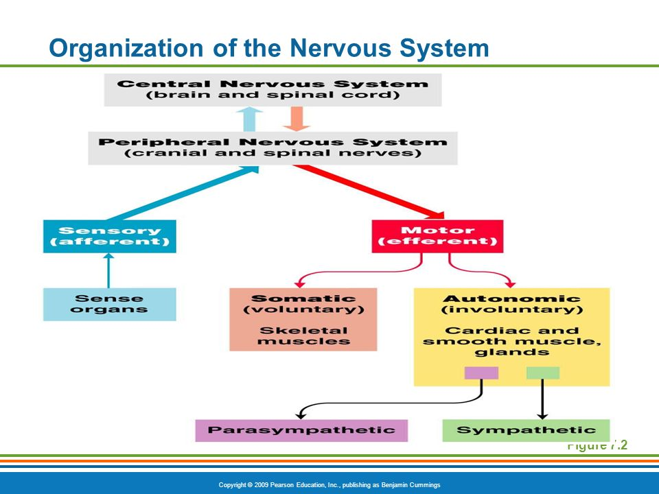 Copyright © 2009 Pearson Education, Inc., publishing as Benjamin Cummings Organization of the Nervous System Figure 7.2