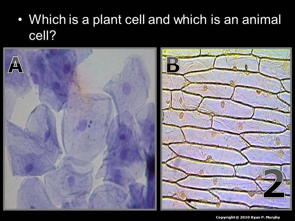 Which is a plant cell and which is an animal cell Copyright © 2010 Ryan P. Murphy