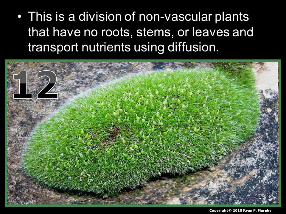 This is a division of non-vascular plants that have no roots, stems, or leaves and transport nutrients using diffusion.