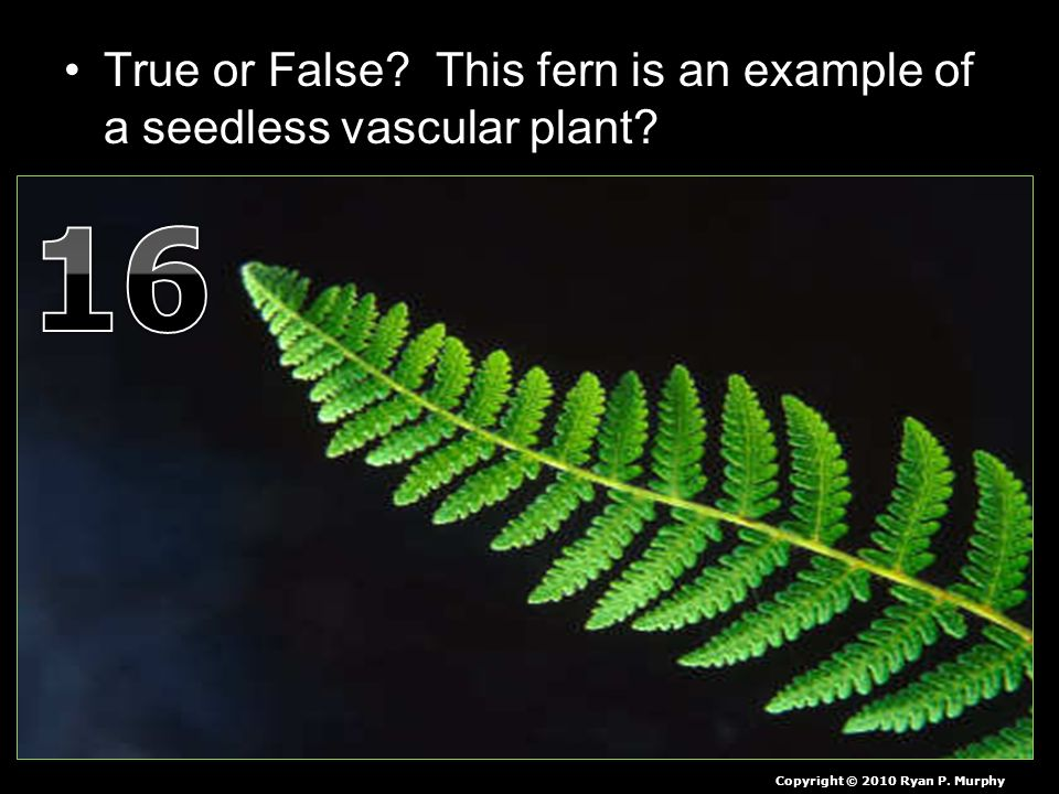 True or False. This fern is an example of a seedless vascular plant.