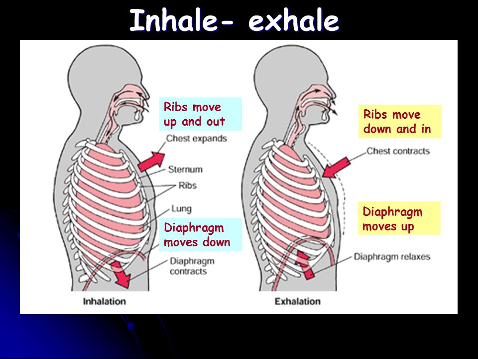 5 Inhale  Exhale Ribs Move Up And Out Diaphragm Moves Down Ribs Move Down  And In Diaphragm Moves Up