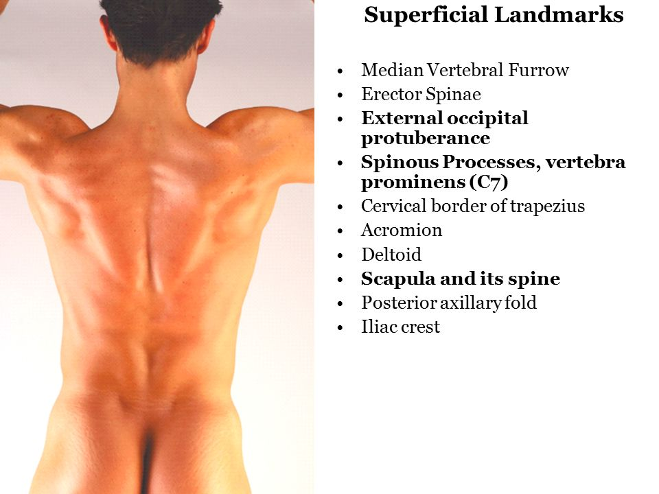 gross anatomy 2: superficial back kulesza. readings: snell, Human Body