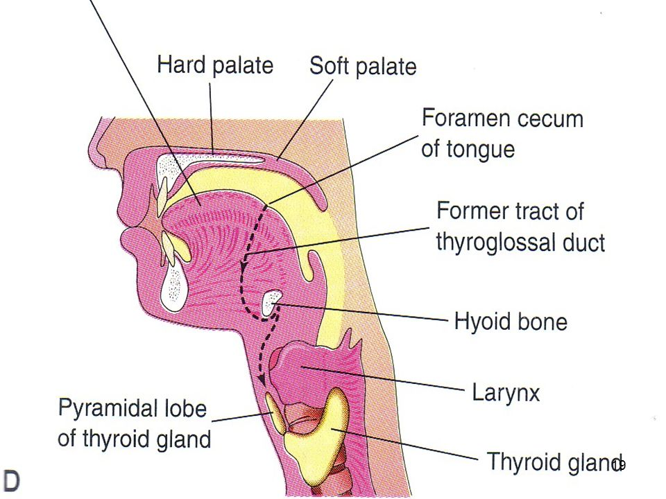 thyroid and parathyroid glands - ppt video online download, Human Body