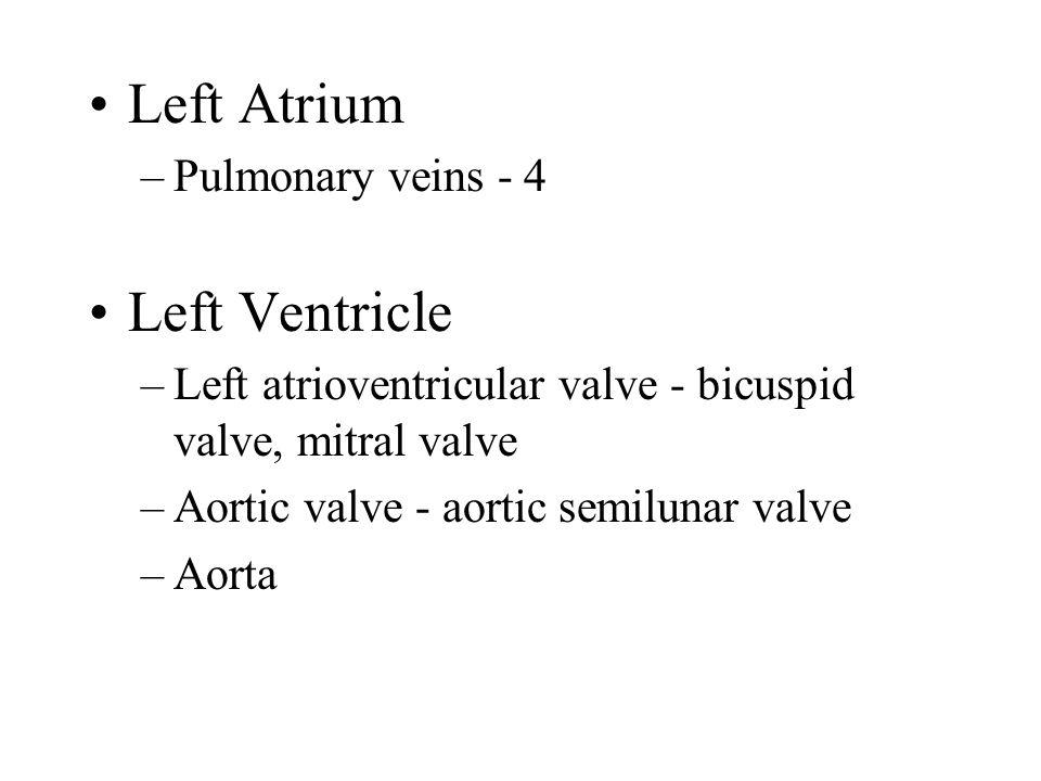 Left Atrium –Pulmonary veins - 4 Left Ventricle –Left atrioventricular valve - bicuspid valve, mitral valve –Aortic valve - aortic semilunar valve –Aorta