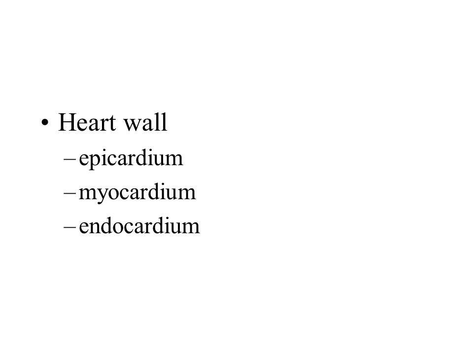 Heart wall –epicardium –myocardium –endocardium
