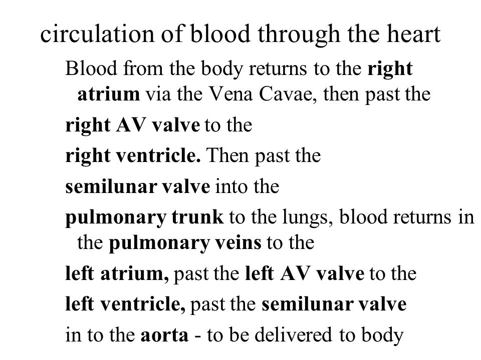 circulation of blood through the heart Blood from the body returns to the right atrium via the Vena Cavae, then past the right AV valve to the right ventricle.