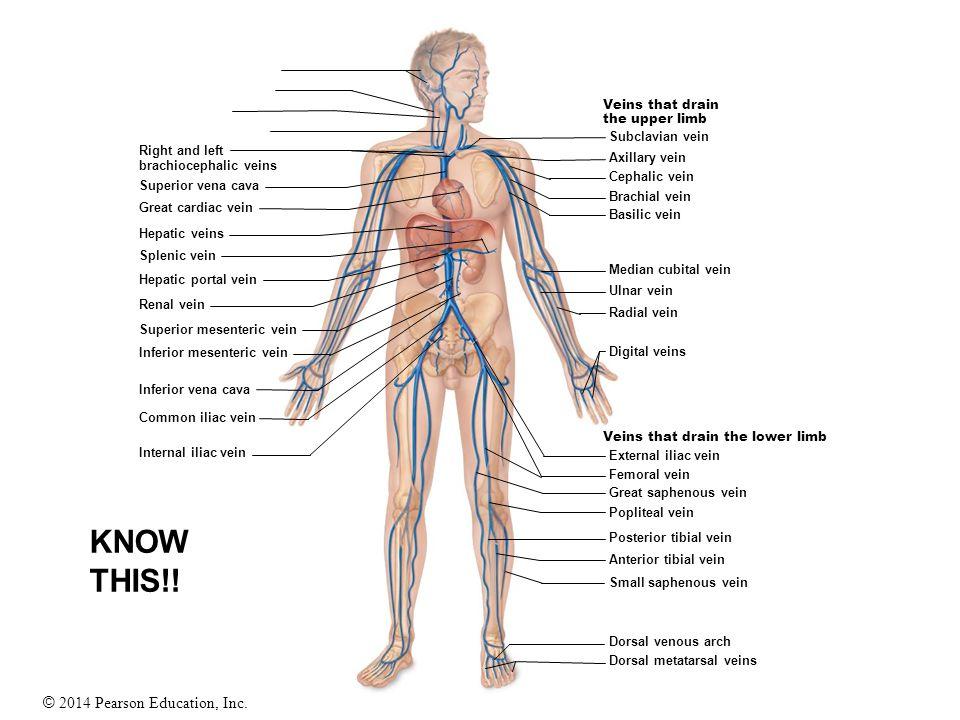 © 2014 Pearson Education, Inc. Veins that drain the upper limb Veins that drain the lower limb Right and left brachiocephalic veins Superior vena cava