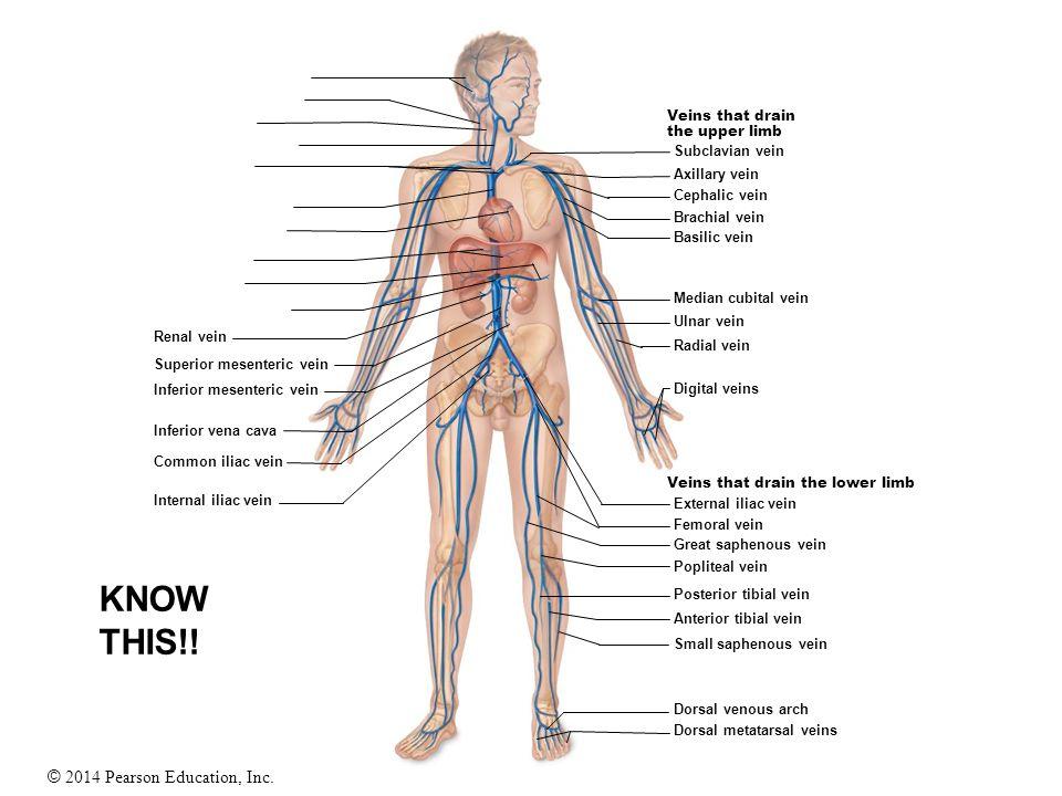 © 2014 Pearson Education, Inc. Veins that drain the upper limb Veins that drain the lower limb Renal vein Superior mesenteric vein Inferior mesenteric
