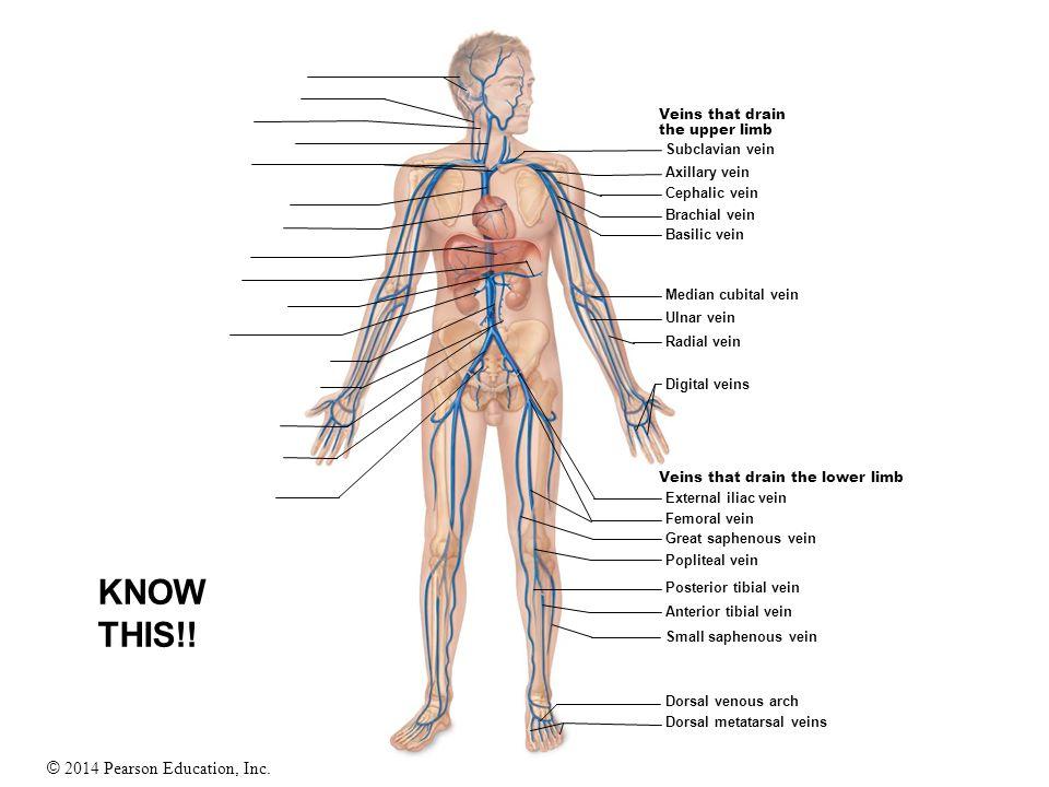 © 2014 Pearson Education, Inc. Veins that drain the upper limb Veins that drain the lower limb Subclavian vein Axillary vein Cephalic vein Brachial ve