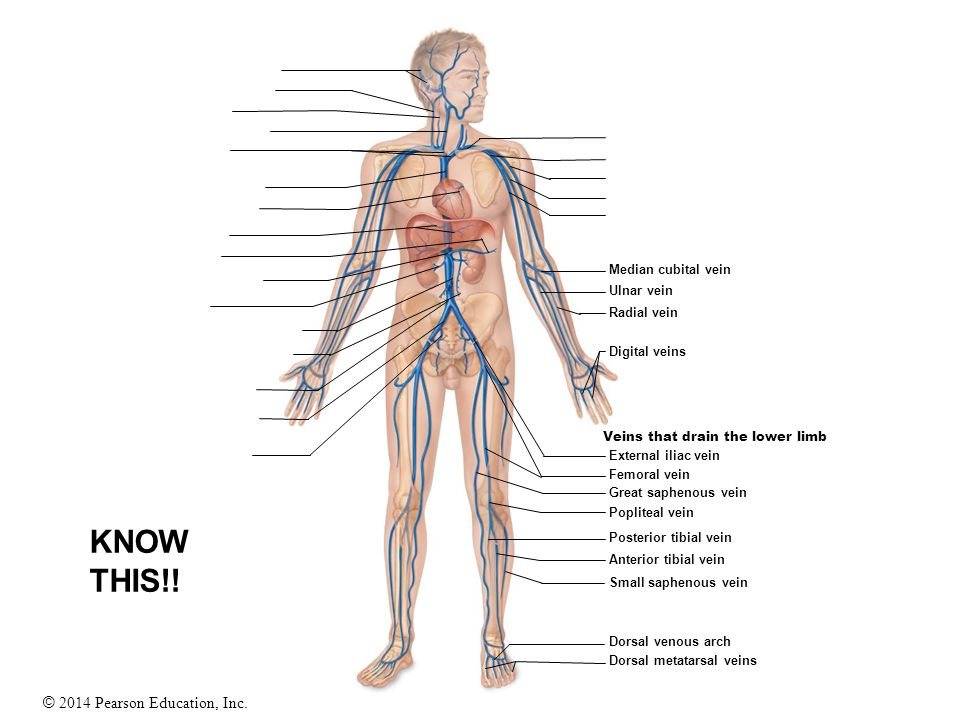© 2014 Pearson Education, Inc. Veins that drain the lower limb Median cubital vein Ulnar vein Radial vein Digital veins External iliac vein Femoral ve