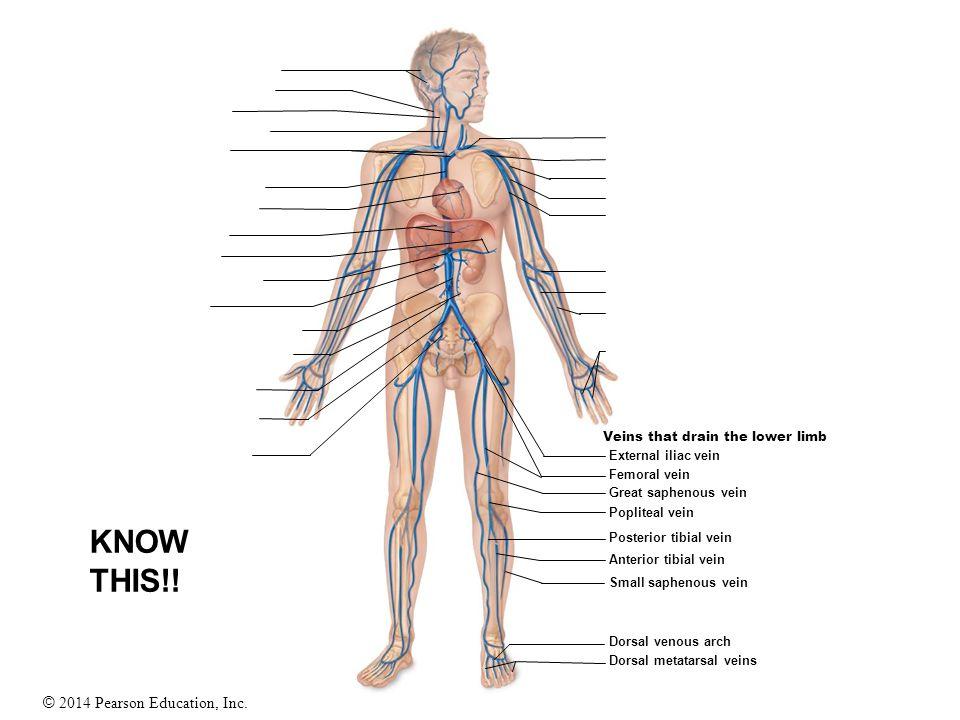 © 2014 Pearson Education, Inc. Veins that drain the lower limb External iliac vein Femoral vein Great saphenous vein Popliteal vein Posterior tibial v