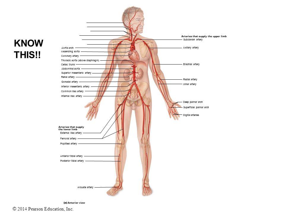 © 2014 Pearson Education, Inc. Aortic arch Superior mesenteric artery Coronary artery Thoracic aorta (above diaphragm) Celiac trunk Abdominal aorta As