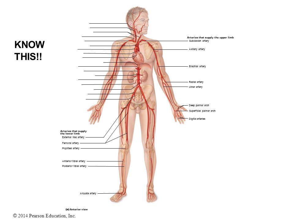 © 2014 Pearson Education, Inc. Arteries that supply the lower limb External iliac artery Femoral artery Popliteal artery Anterior tibial artery Poster