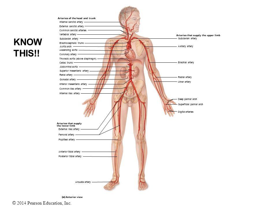 © 2014 Pearson Education, Inc. Internal carotid artery External carotid artery Arteries of the head and trunk Common carotid arteries Vertebral artery