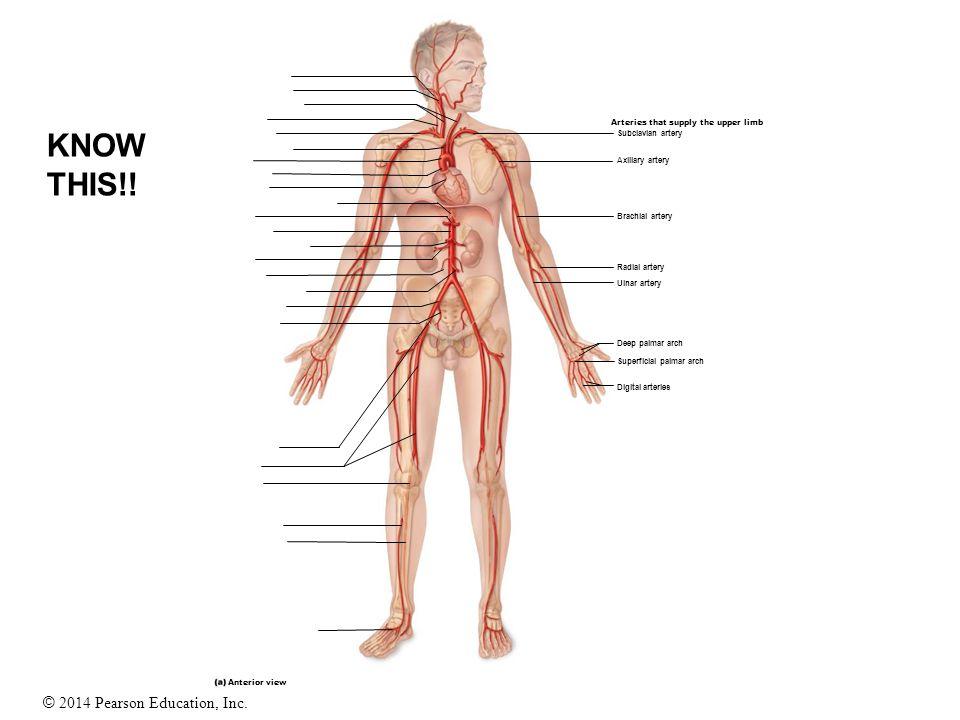 © 2014 Pearson Education, Inc. Anterior view Digital arteries Superficial palmar arch Deep palmar arch Ulnar artery Radial artery Brachial artery Axil