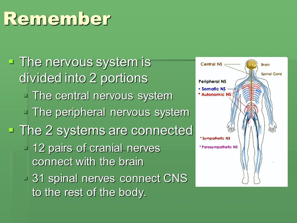 Reflex and autonomic nervous system The peripheral nervous system ...