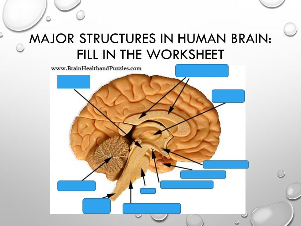 Brain anatomy worksheet pdf