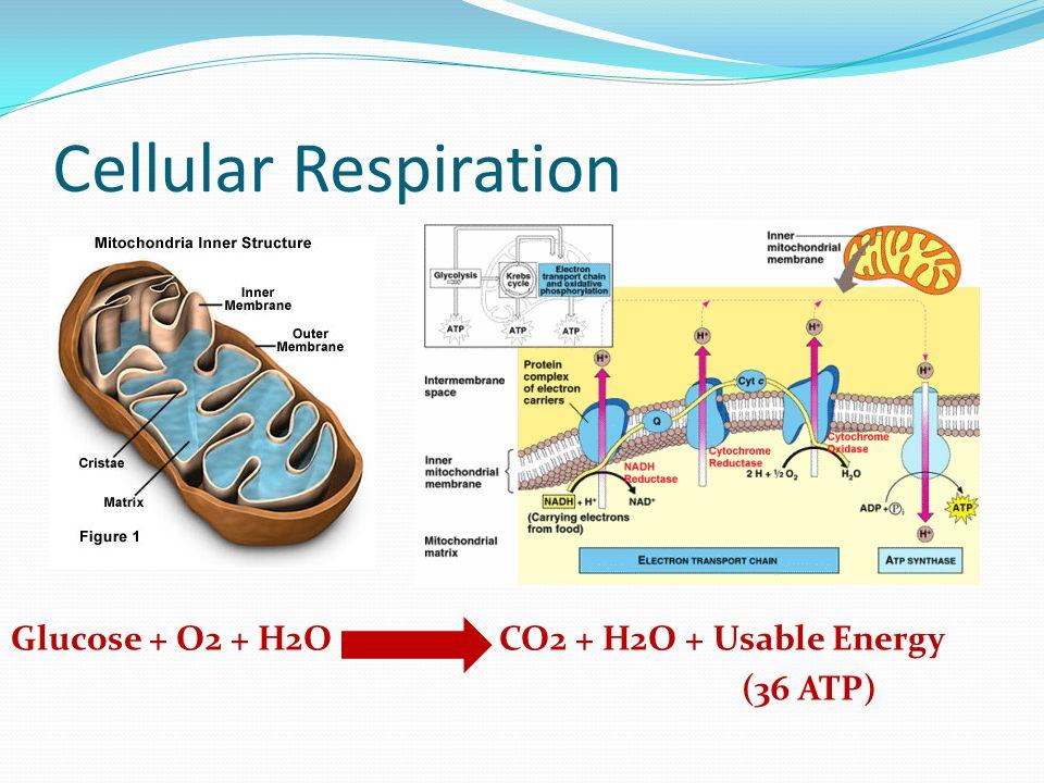 photosynthesis and cellular respiration matrix