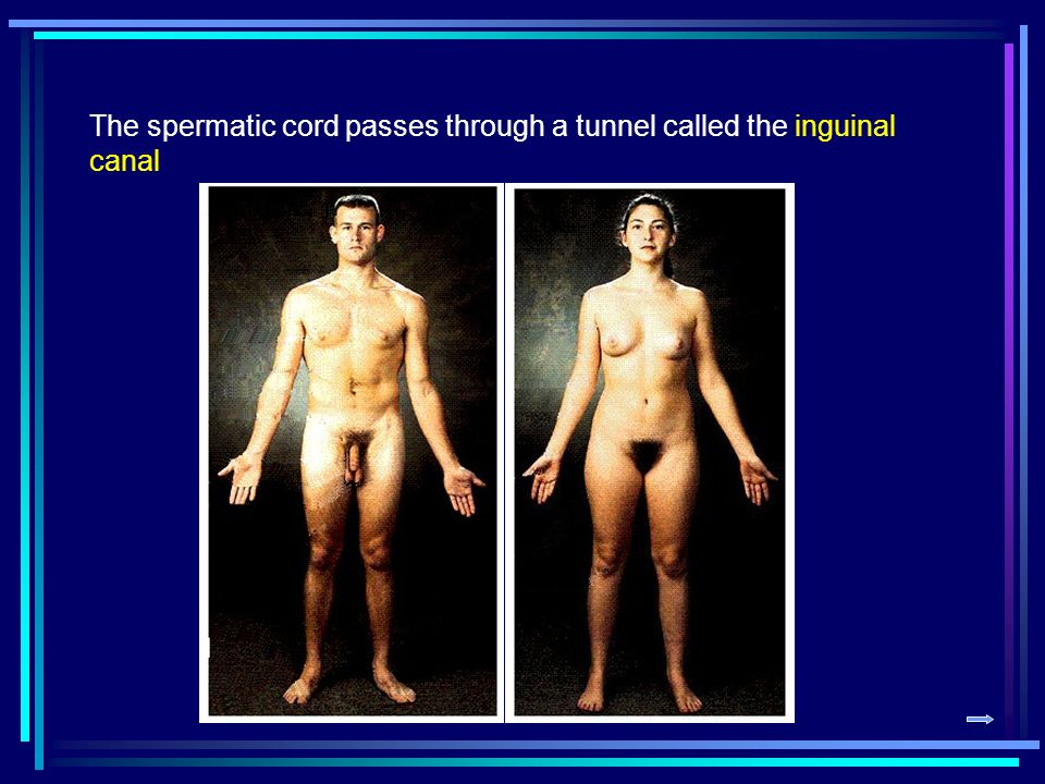 The spermatic cord passes through a tunnel called the inguinal canal