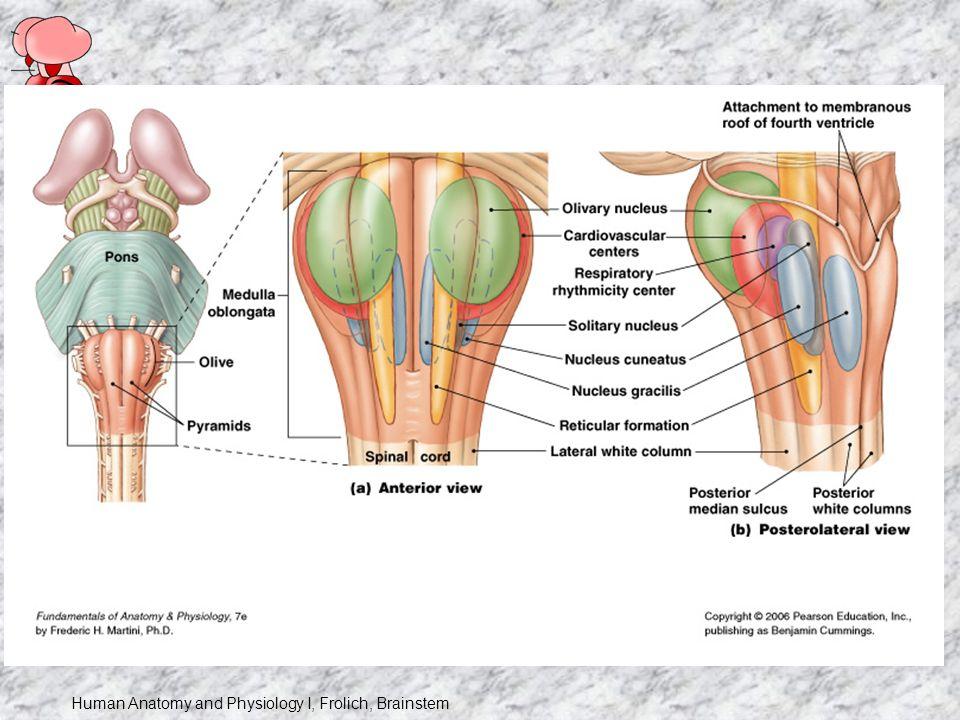 Human Anatomy And Physiology I Frolich Brainstem Brain Tidbit Ii