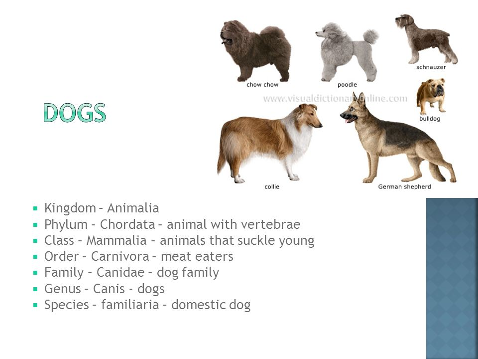 Genus species dog