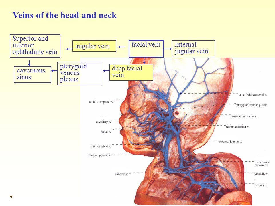 7 Superior and inferior ophthalmic vein angular vein deep facial vein pterygoid venous plexus facial vein internal jugular vein cavernous sinus Veins of the head and neck