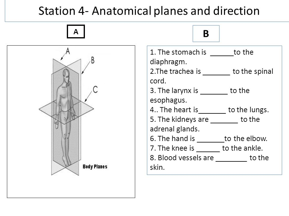 Anatomical Direction and Body Planes (Grades 11-12) - Free ...