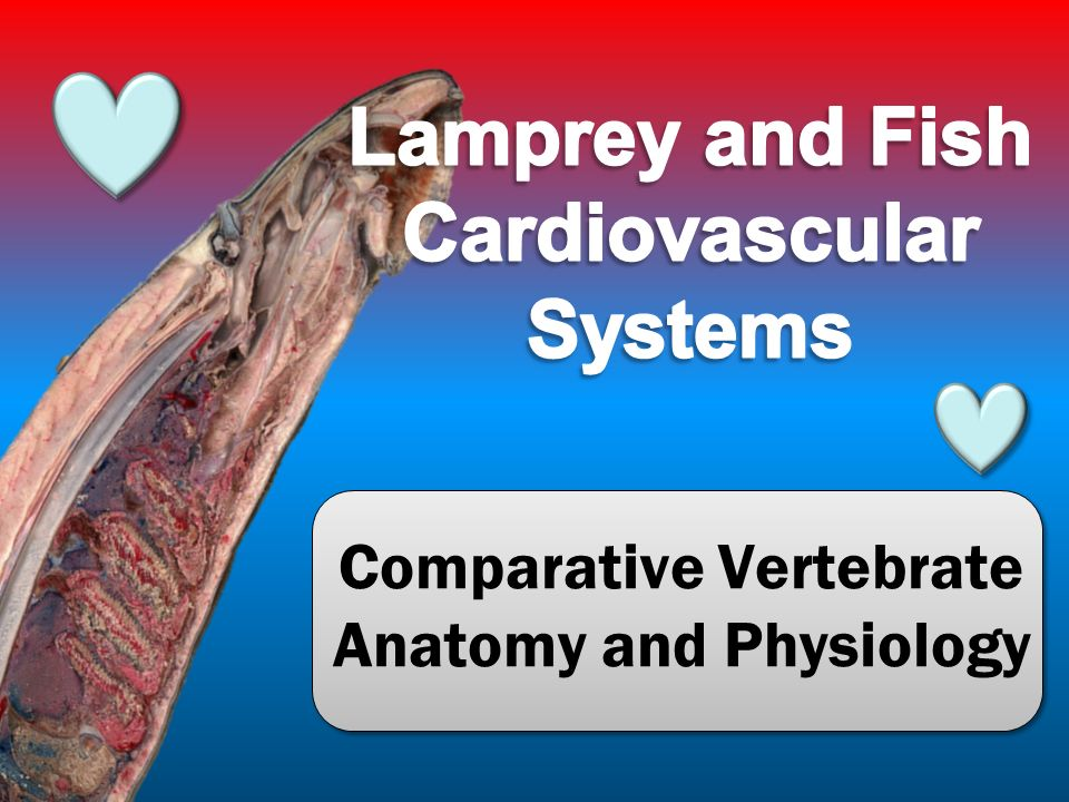 comparative vertebrate anatomy and physiology. cardiovascular, Human Body