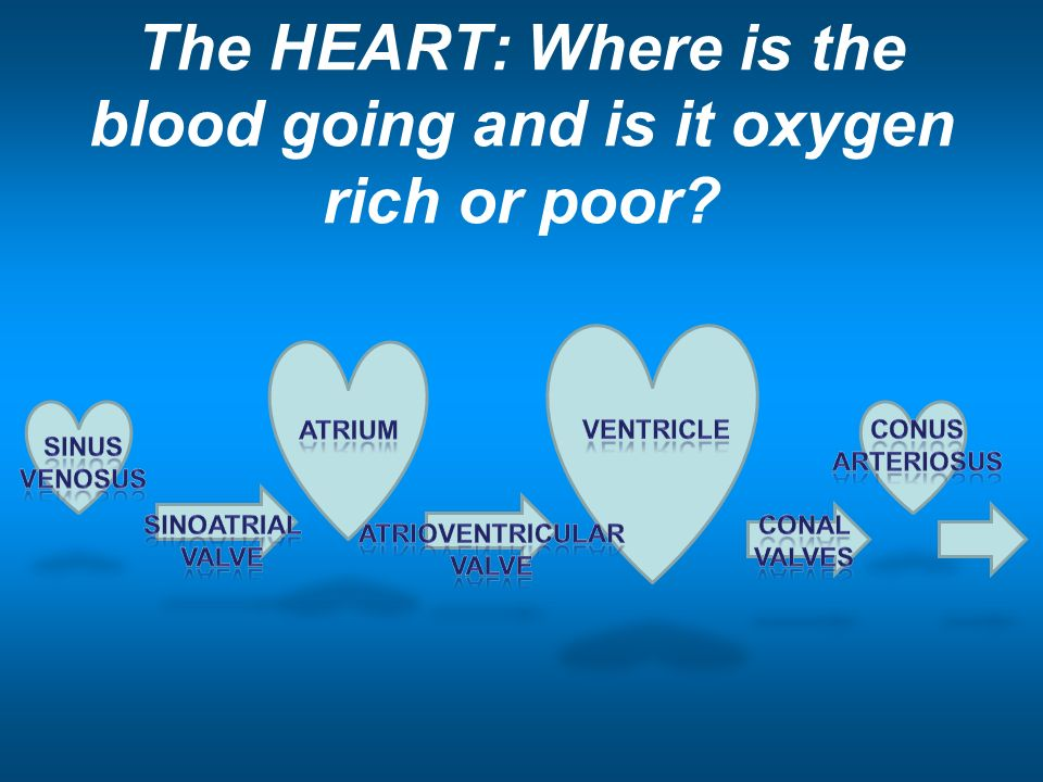 Comparative Vertebrate Anatomy and Physiology. Cardiovascular System ...