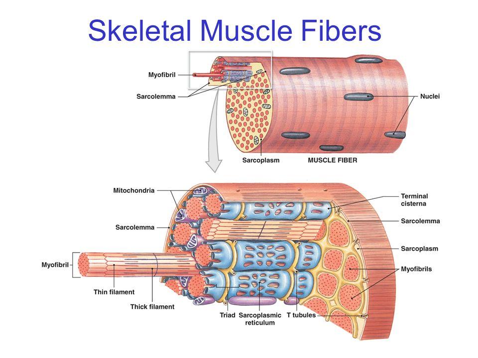 skeletal muscle contraction muse bone perimysium endomysium  : muscle fiber diagram - findchart.co