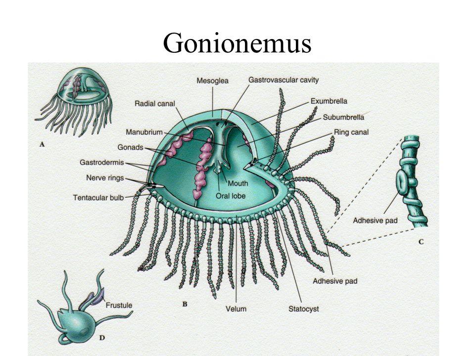 Cnidaria gonionemus