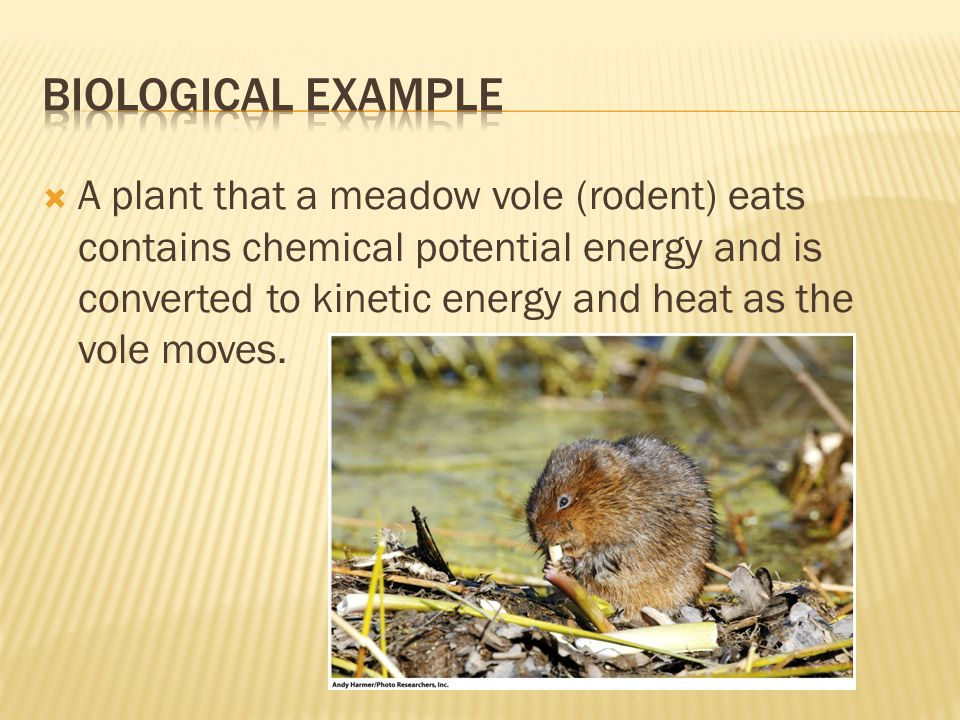  A plant that a meadow vole (rodent) eats contains chemical potential energy and is converted to kinetic energy and heat as the vole moves.