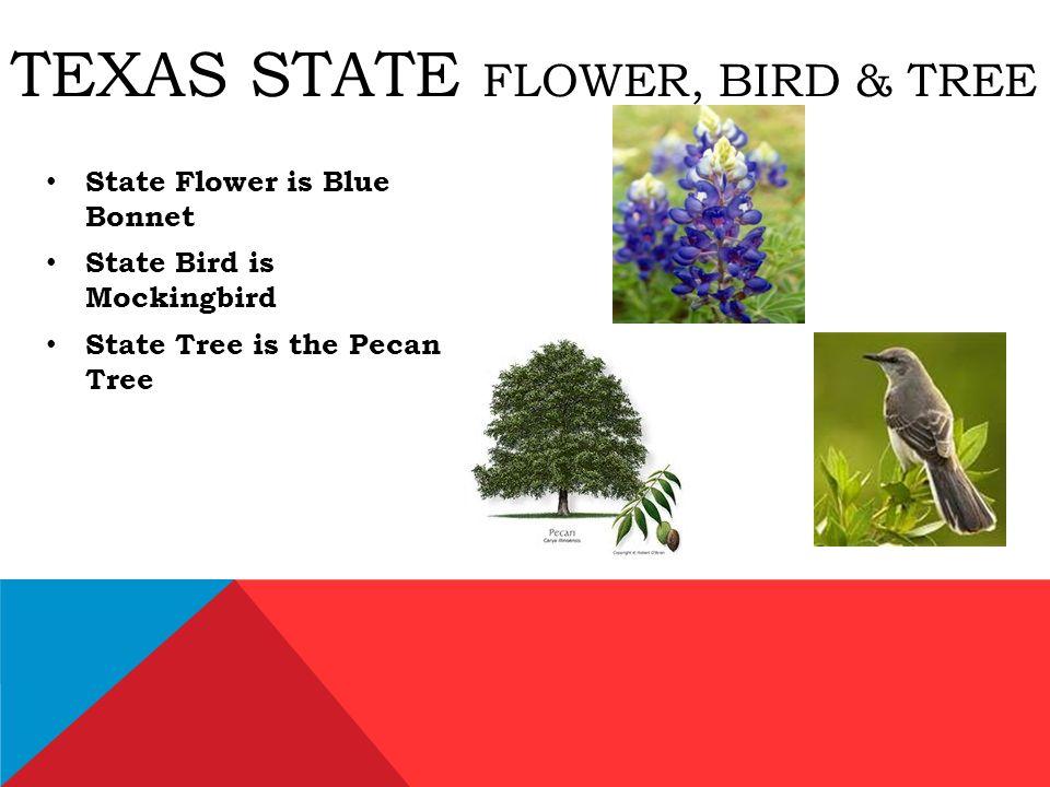 the texas state bird mockingbird source 5 texas state flower bird tree state flower is blue bonnet state bird is mockingbird