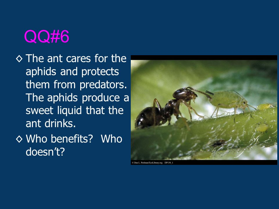 QQ#6 ◊The ant cares for the aphids and protects them from predators.