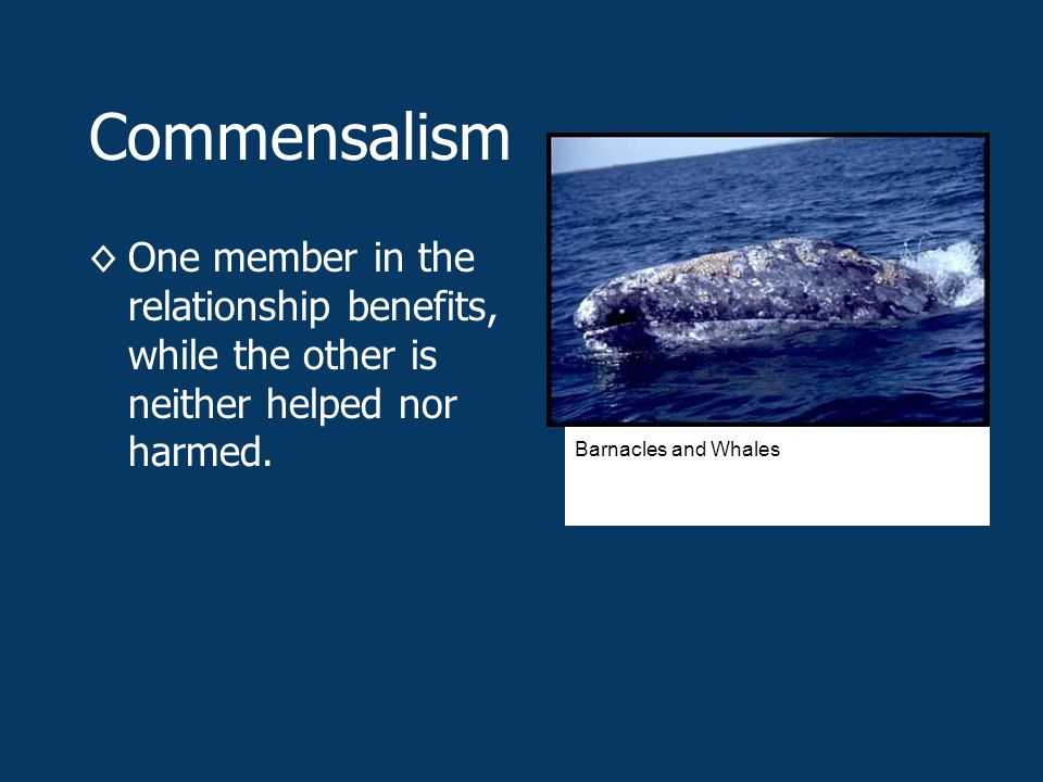 Commensalism ◊One member in the relationship benefits, while the other is neither helped nor harmed.