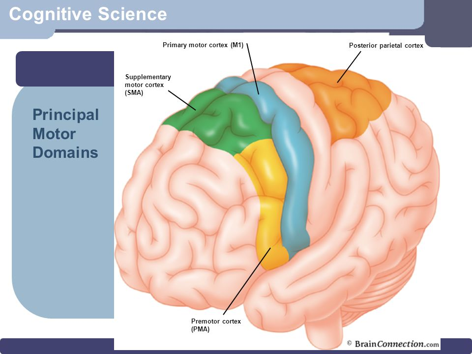 Cognitive science overview cognitive science defined the brain 11 cognitive science motor cortex primary motor cortex m1 posterior parietal cortex premotor cortex pma supplementary motor cortex sma principal motor ccuart