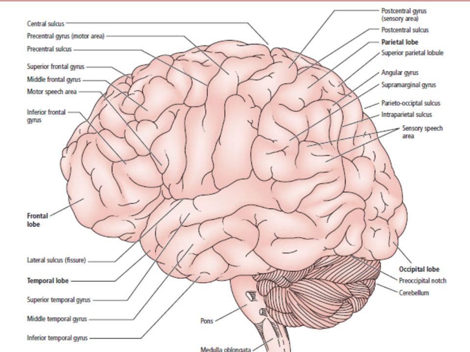 Neuroanatomy of Human Brain Dr. Saha., P. K.. Historical Review of ...