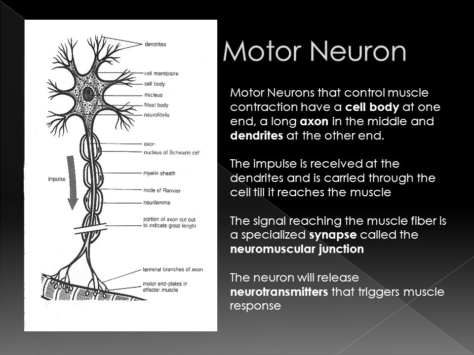 Carry impulses from the Central Nervous System to perform muscle ...
