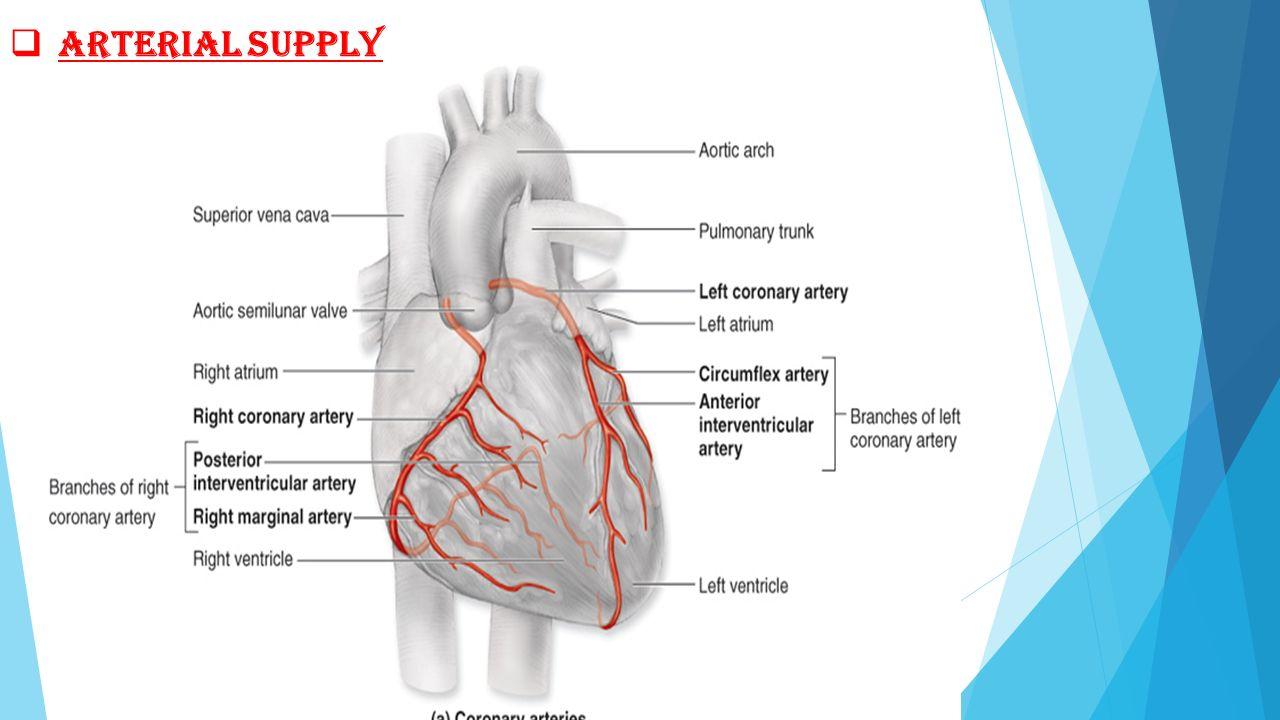 Nice Cardiac Venous Anatomy Component - Anatomy and Physiology ...