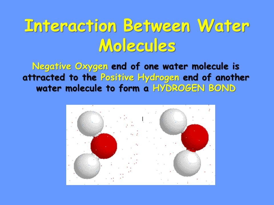 Interaction Between Water Molecules Negative Oxygen end of one water molecule is attracted to the Positive Hydrogen end of another water molecule to form a HYDROGEN BOND